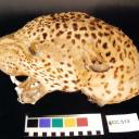 Stuffed Leopard Head